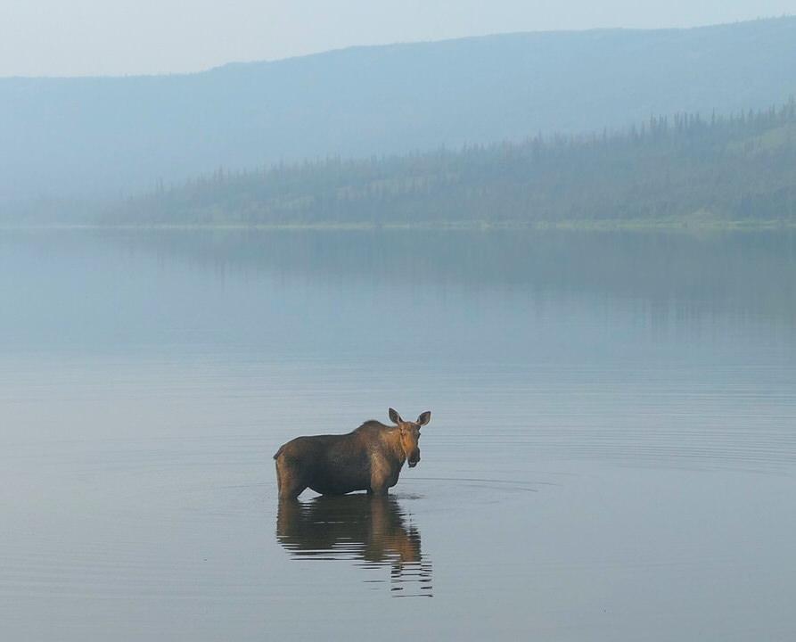 A Moose in Wonder Lake, Denali National Park
